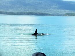 Orca whale , Mark P - September 2011