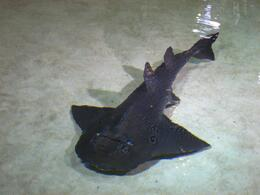 Sharkray swims to the edge of the viewing pool. - November 2009