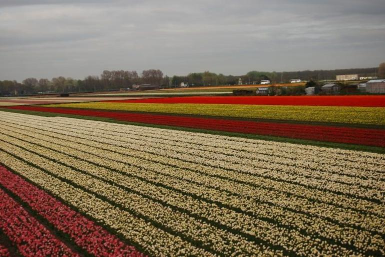 Tulip Flowerfields on the way to Keukenhof Garden - Amsterdam
