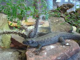 Lizards crawl in their carefully designed habitats. - November 2009
