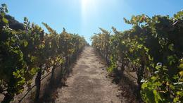 Foto de parreiras da primeira vinícola visitada. Um show!!!! , James - October 2014