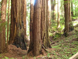 The red wood trees at Muir Woods , SAMEER C - May 2011