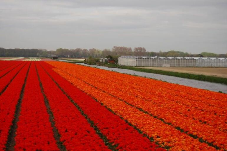 Tulip Flowerfields - Amsterdam