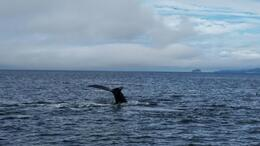 Humpback Tail , Robert C - September 2014
