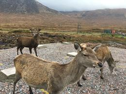 We spotted some deers beside the main road to Clencoe , NHJ v - October 2017