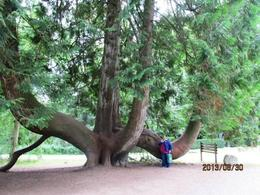 this is a huge cedar tree in the gardens , MommaK - September 2013