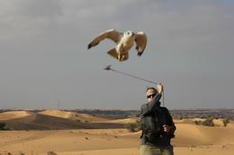 Falcon in flight. , Edward W - December 2014