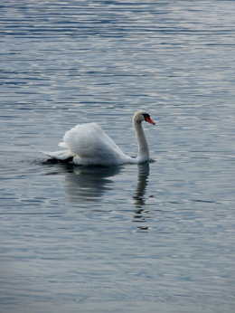 Yes, Lake Geneva has swans in some parts of it!, kellythepea - October 2010