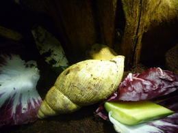 huge snail, Irene - October 2013