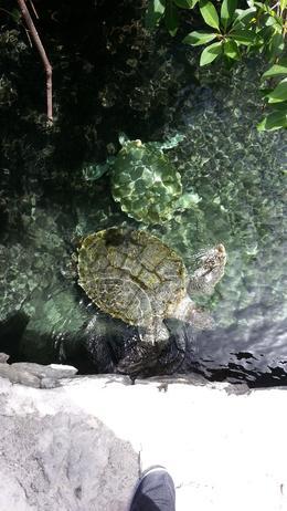 Really big turtles up close. , sdoizaki - July 2014