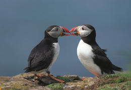 A pair of Puffins, Reykjavik - November 2011