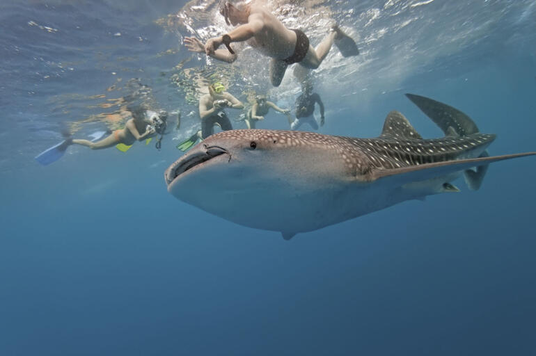 Chase Whale Sharks on Ningaloo Reef - Perth