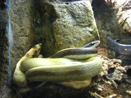 Curled up in the snake habitat - November 2009