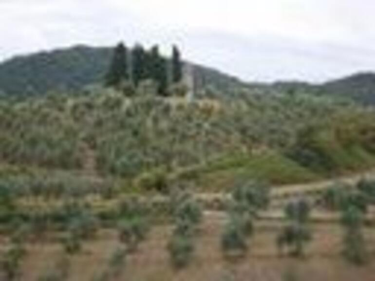 Olive and Cedar Trees - Florence