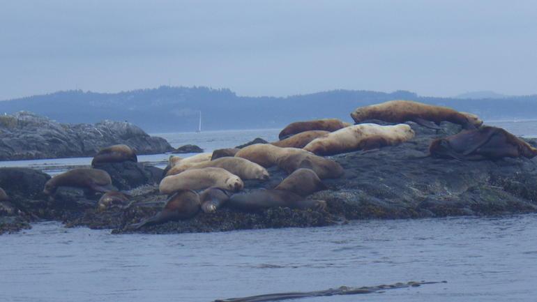 Sea lions - Vancouver