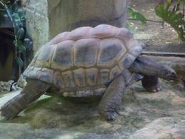 giant turtle moving around, Irene - October 2013