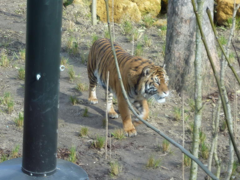 Beautiful big tiger on the prowl - London