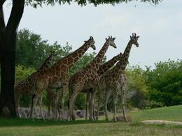 Des girafes , Humbert C - May 2014