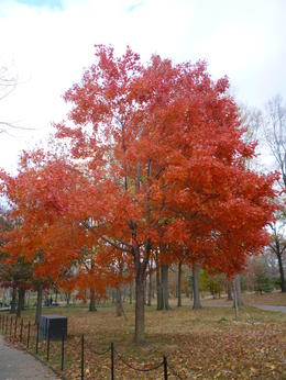 I realized how much I love fall trees., Irene - November 2012