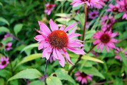 A beautiful flower at the Butchart Gardens! , Michael E - August 2016