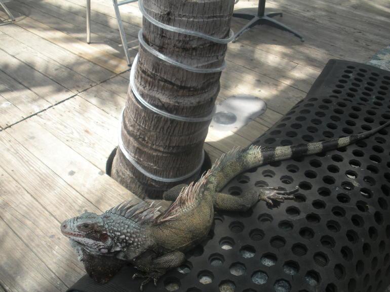Iguanas - St Thomas