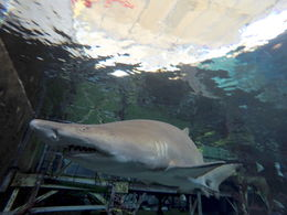 A large sand tiger shark swims close by in the Florida Aquarium. , Daniel M - December 2015