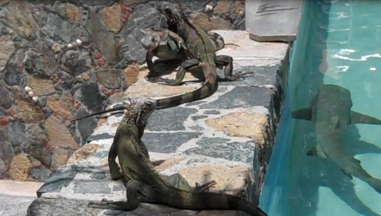 Brave Iguanas - St Thomas