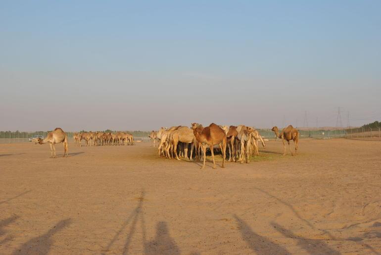 Camel - Dubai
