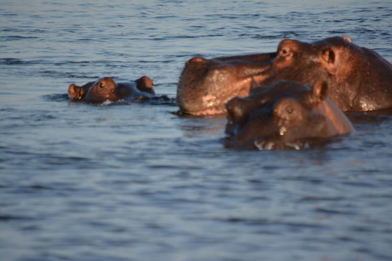 Hippos -