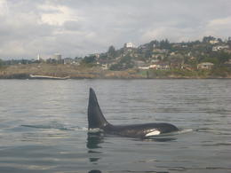 This whale came right up next to the boat. It was amazing! , Janice A - October 2013