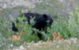Bear sighting enroute to Athabasca Glacier. , Robert H - July 2017