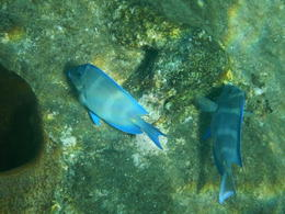 Blue tangs whilst snorkelling near Soufriere , John P - December 2017