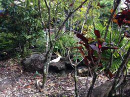 Cockatoo on the island , ringfort - August 2016