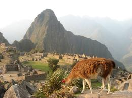 Llama with Machu Picchu in the background - June 2011