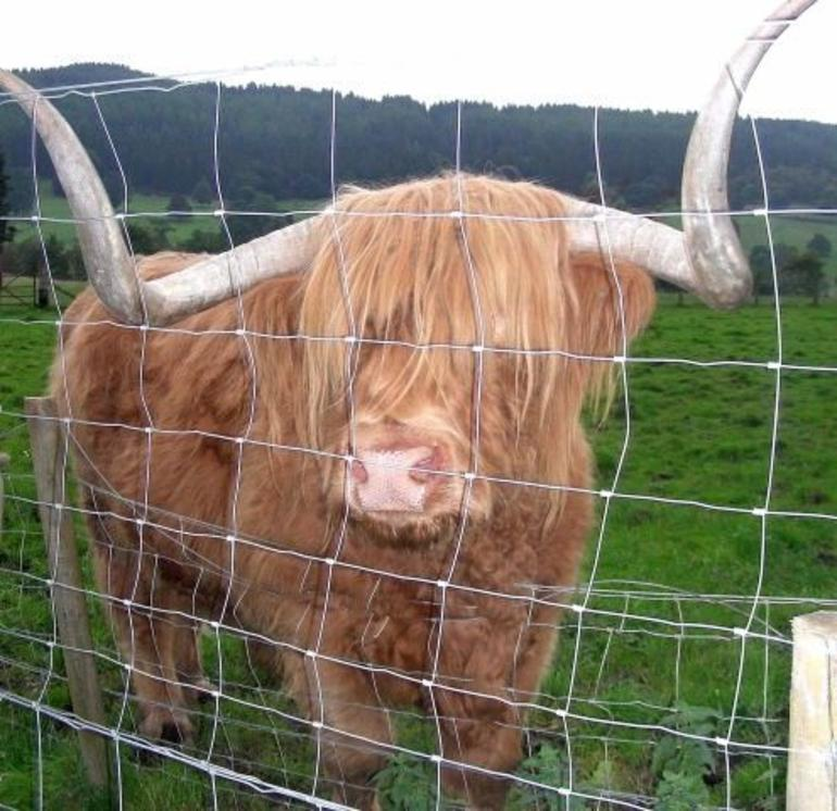 Highlands Cow - Edinburgh