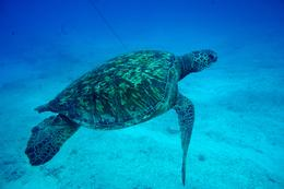A friendly green sea turtle hanging out - April 2013