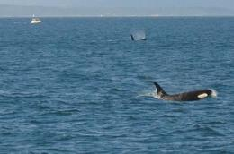 "Not one, but two Orca ""Killer"" Whales off Henry Island in Haro Strait - July 2010"