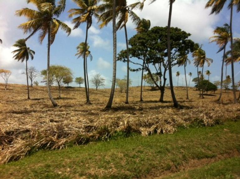 Palm trees on the Atlantic side of the Island of Trinidad - Trinidad and Tobago