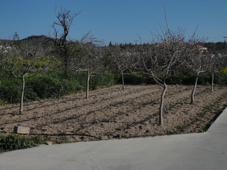 Pistachio farm in Egina - Athens