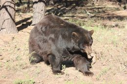 He was our favorite - an old bear!, Bandit - October 2015