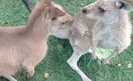 Feeding the kangaroos. , bullminkle## - May 2015