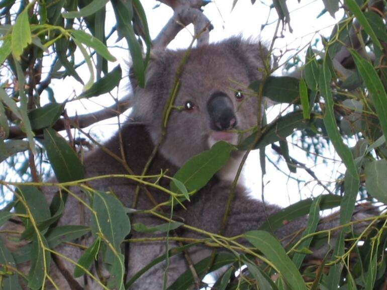 Koala on the Great Ocean Road - Melbourne