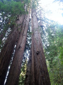 Towering Redwoods in this protected forest. , Gerald D - October 2013