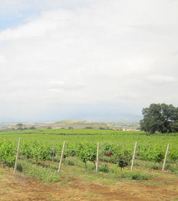 A view of the vines and the rose indicating healthy soil. , Aksel Kristian H - June 2011