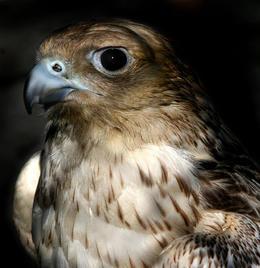 Icelandic Falcon, Reykjavik - November 2011