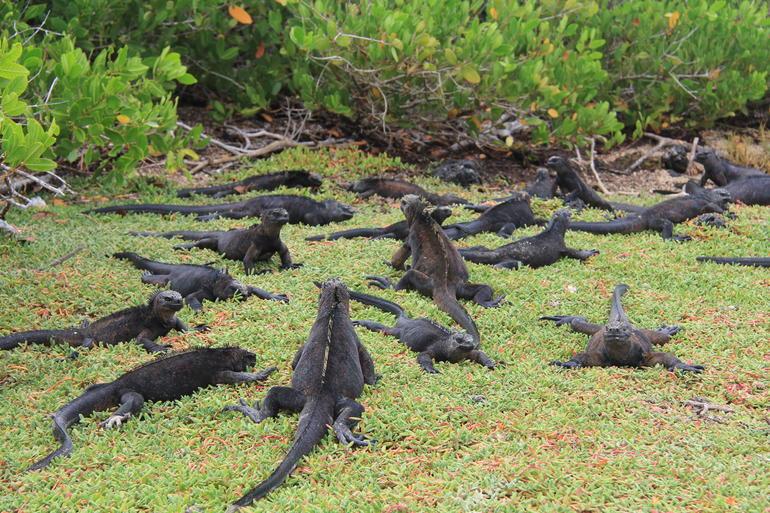 Iguanas - Galapagos Islands