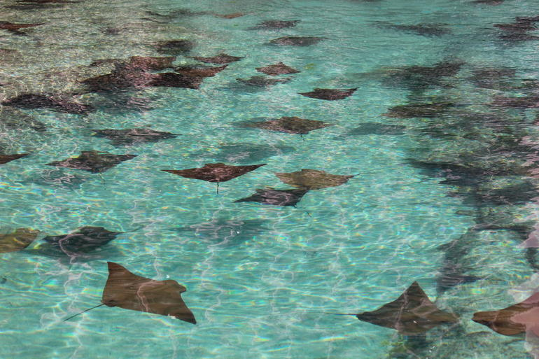 Stingrays - Nassau