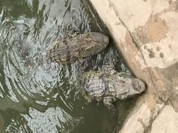 alligators hanging out around the lunch areas , Danielle W - March 2017