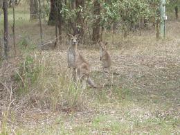 Wild kangaroos spotted., Tee Chong L - October 2008