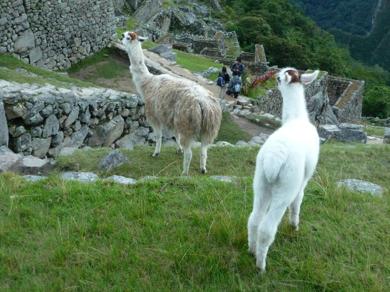 Alpacas! - Cusco
